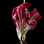 Dead Dried Tulip Art Print