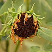 Dead Sunflower Art Print