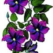 Deciduous Climber (clematis Warsaw Nike) Art Print by Archie Young