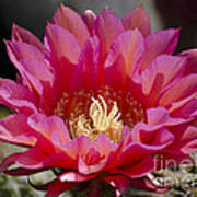 Deep Pink Cactus Flower Art Print