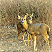 Deer Duo Art Print