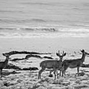 Deer On Beach Black And White Art Print