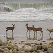 Deer On Beach Art Print