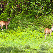 Deer On The North Of St. Croix Art Print by David Alexander
