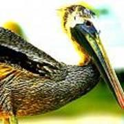 Deerfield Pelican Art Print