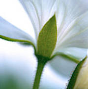 Delicate Petals Art Print