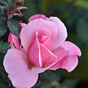 Delicate Pink Rose Art Print