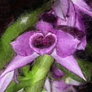 Dendrobium Anosium Art Print