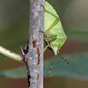 Descent Of A Green Stink Bug Art Print