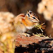 Desert Chipmunk Eating His Breakfast Art Print
