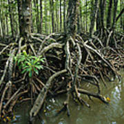 Detail Of Mangrove Roots At The Waters Print by Tim Laman