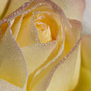 Dew Bejeweled Peace Rose Art Print