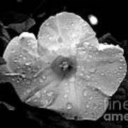 Dew Dropped Morning Glory Art Print