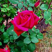 Dew Kissed Red  Rose Art Print