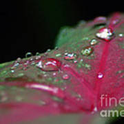 Dew On The Leaves Art Print