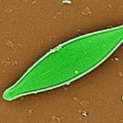 Diatom, Sem Art Print by Dr David Furness, Keele University
