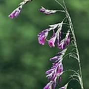 Dierama Pulcherrimum In Flower Art Print by Colin Varndell