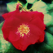 Dirty Rose Knows Art Print by Bill Cannon