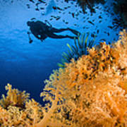 Diver Swimms Above Soft Coral, Fiji Art Print