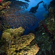 Diver Swims Over A Reef, Belize Art Print