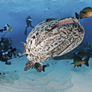 Divers Photographing A Giant Grouper Art Print