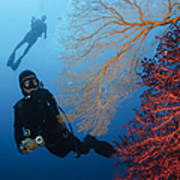 Divers Swimming By Sea Fans, Indonesia Art Print