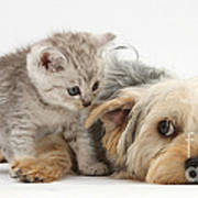 Dog Surrendering To Kitten Art Print