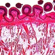 Dog Tongue Tissue, Light Micrograph Art Print by Dr Keith Wheeler