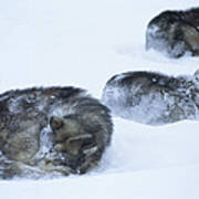 Dogs Sleep In Blizzard On Frozen Ocean Art Print by Gordon Wiltsie