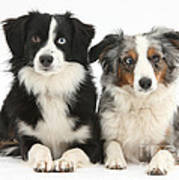 Dogs With Different-colored Eyes Art Print