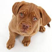 Dogue De Bordeaux Puppy Art Print