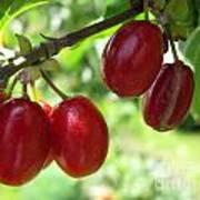 Dogwood Cornus Mas Berries Art Print