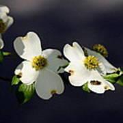 Dogwood Blossom - Beelightful Art Print