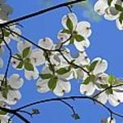 Dogwood Blossoms 2 Art Print