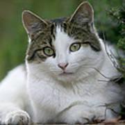 Domestic Cat Felis Catus Portrait Art Print