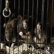 Domestic Rats At The George M. Sutton Art Print