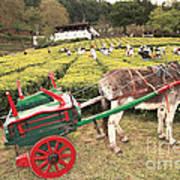 Donkey And Tea Gardens Art Print