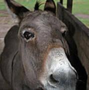 Donkey Eyes Art Print