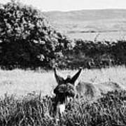 Donkey In The West Of Ireland Art Print