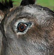 Donkey Stink Eye Art Print