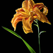 Double Day Lily Art Print