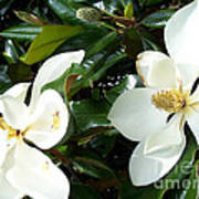 Double Magnolia Art Print