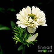 Double Poppy Anemone  2 Art Print