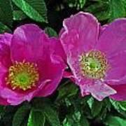 Double Wild Rose Art Print