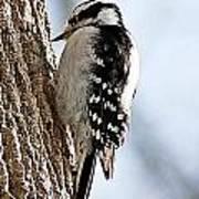 Downy Woodpecker 4 Art Print