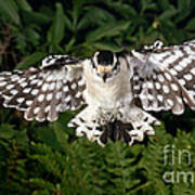 Downy Woodpecker In Flight Art Print