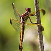 Dragonfly Photo - Yellow Dragon Art Print