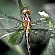 Drangonfly Art Print