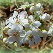 Dreams Of Pear Blossoms Art Print