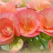 Dreamy Begonias Art Print